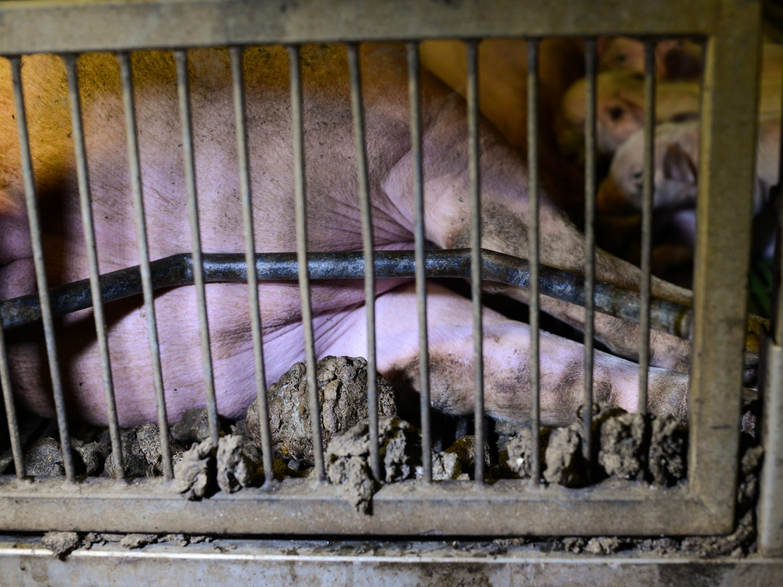 A sow is forced to lay with hindquarters pressed into the bars of her gestation crate and her own feces
