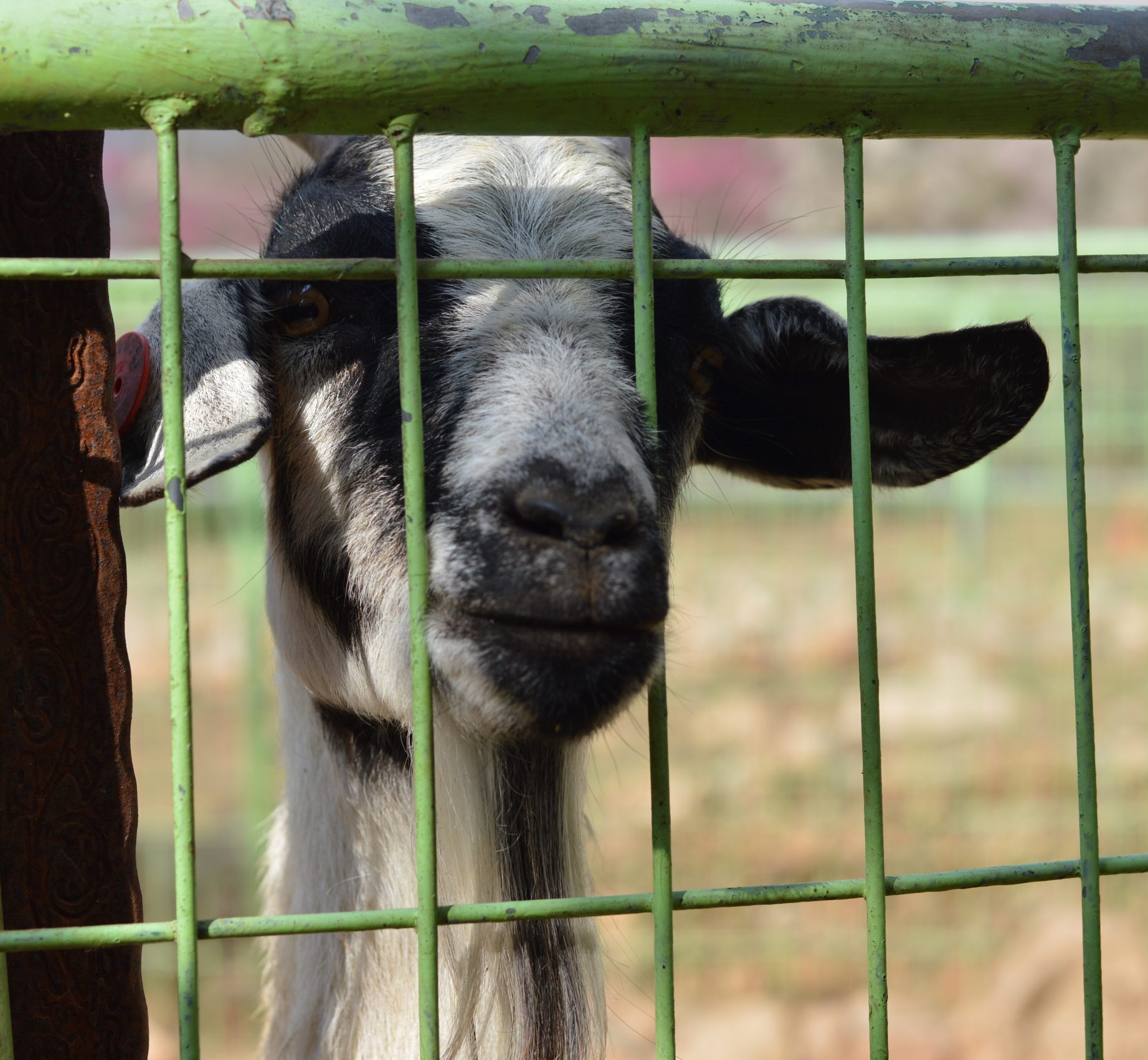 Sad goat in enclosure