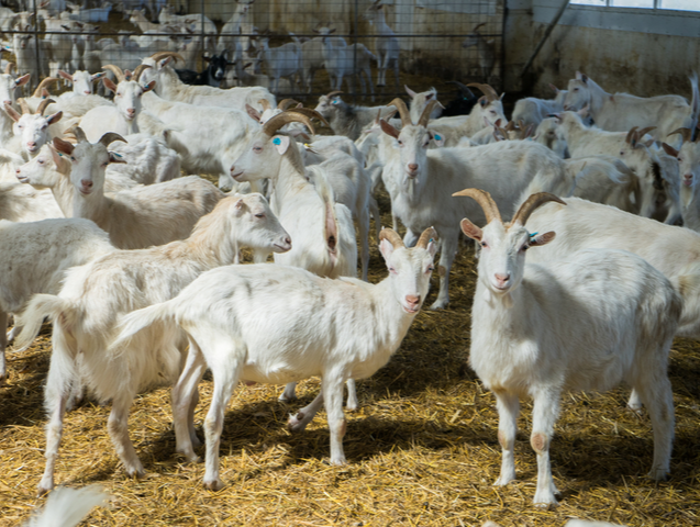 A lot of goats on a goat farm. Farm livestock farming for the industrial production of goat milk dairy products