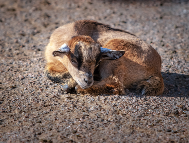 A lonely sad goat kid curled up in a ball and lies on the ground. The coat is brown, there are no horns. Sunny weather