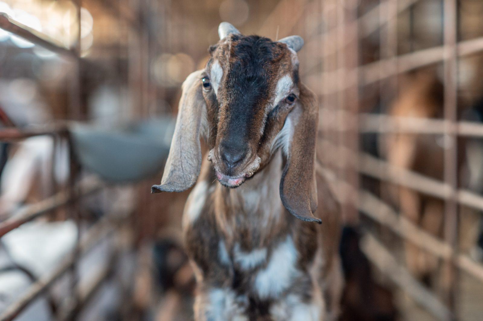 Intensive goat farming. Taiwan, 2019
