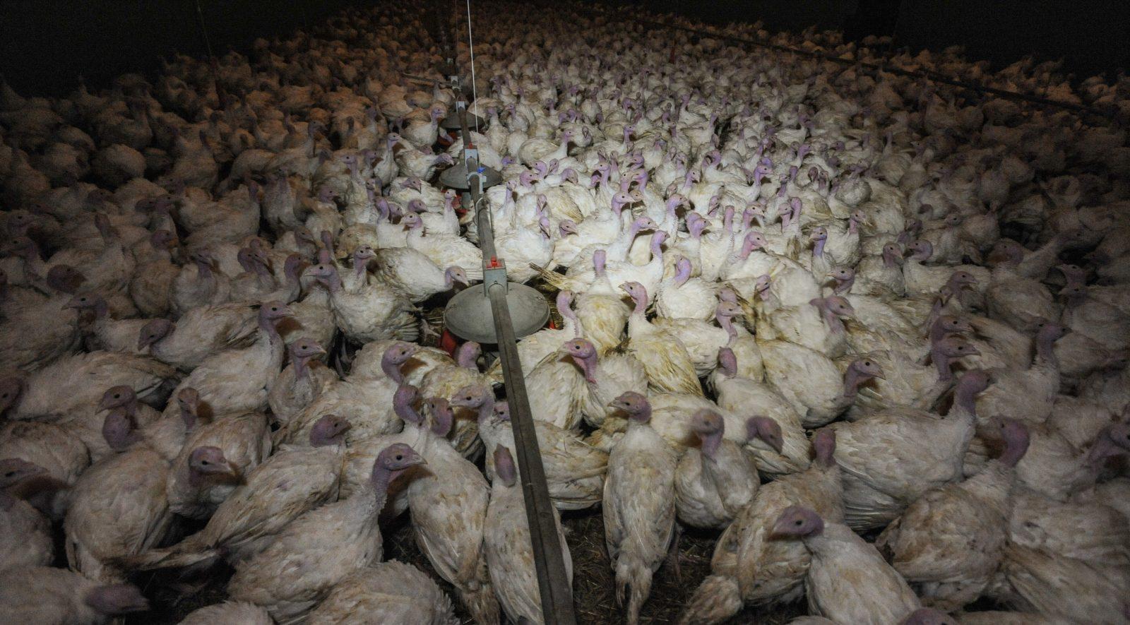 Factory-farmed turkeys.
