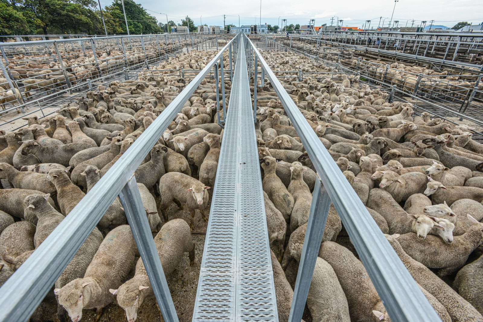 Tightly packed sheep at the sale yards. Australia, 2013