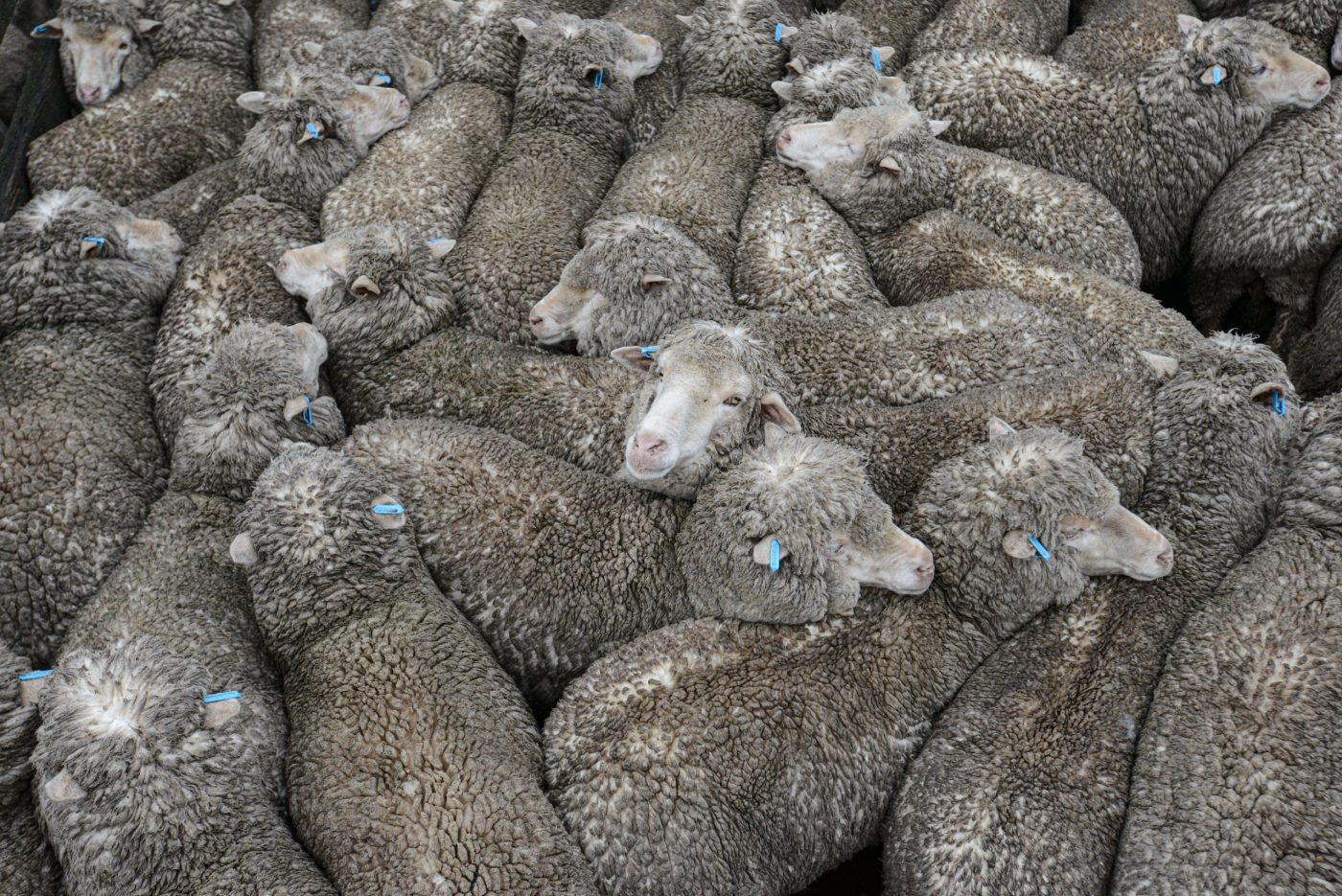Vertical explainer photo 1 - Tightly packed sheep at the sale yards. Australia, 2013.