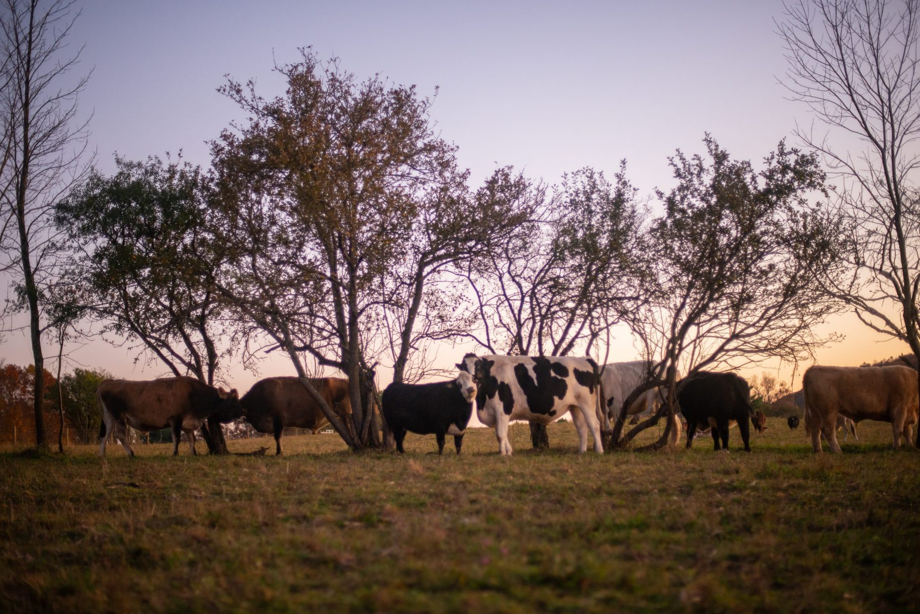 Main cattle herd at sunset at Farm Sanctuary
