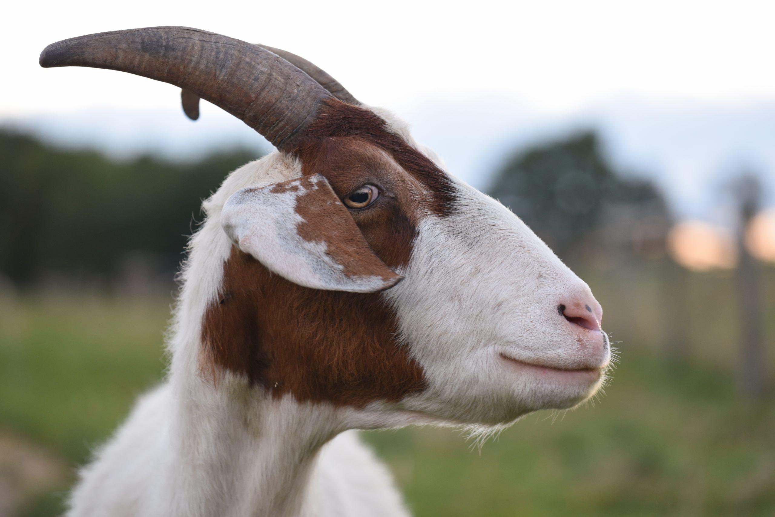 Skye Goat at Farm Sanctuary