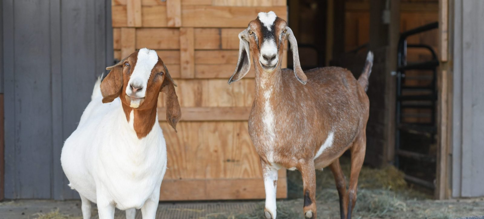 Maurice and Marcia goats at Farm Sanctuary