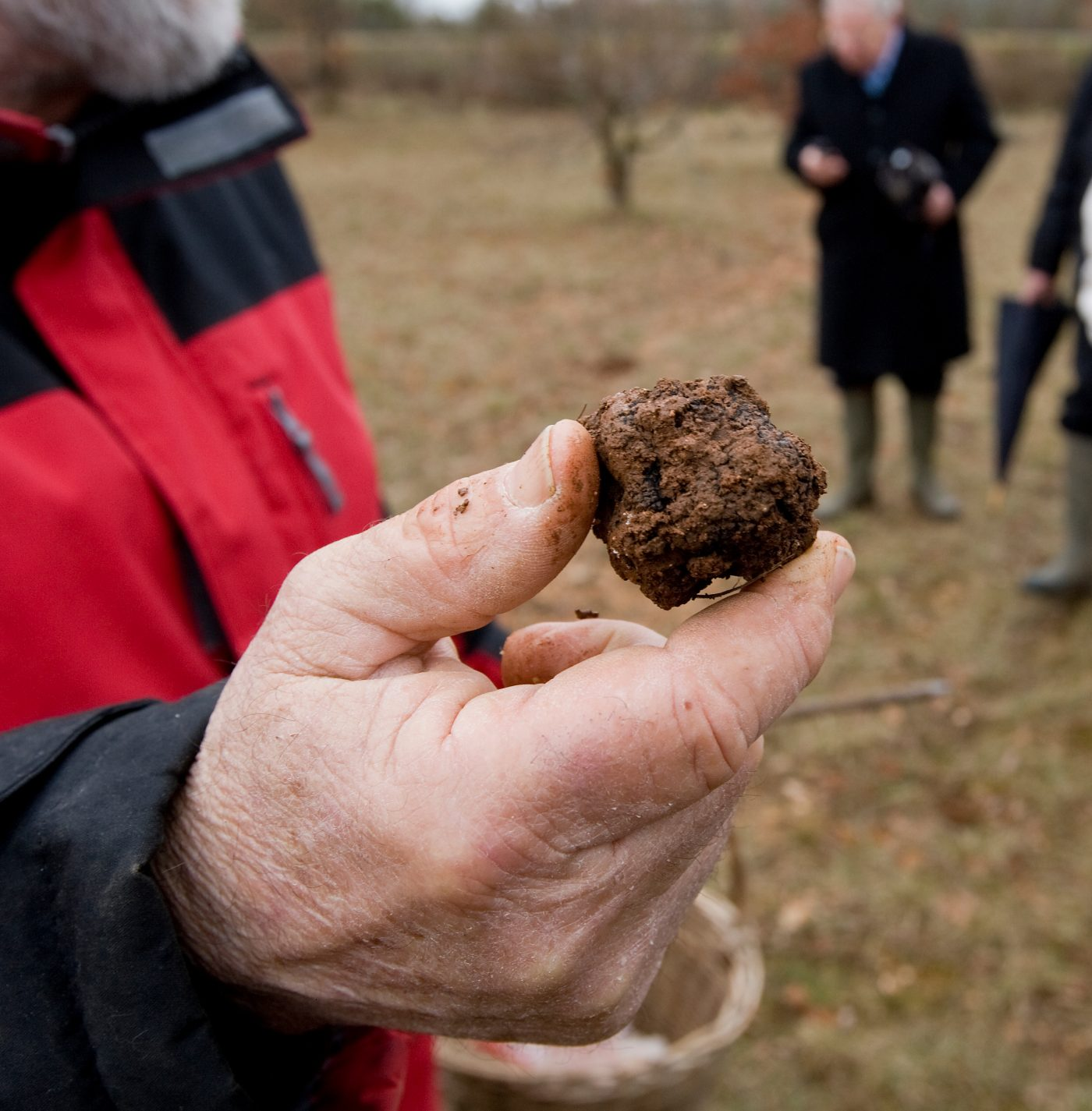 Harvest of black truffles in Lalbenque, France.