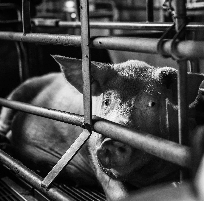 Pig farm Italy