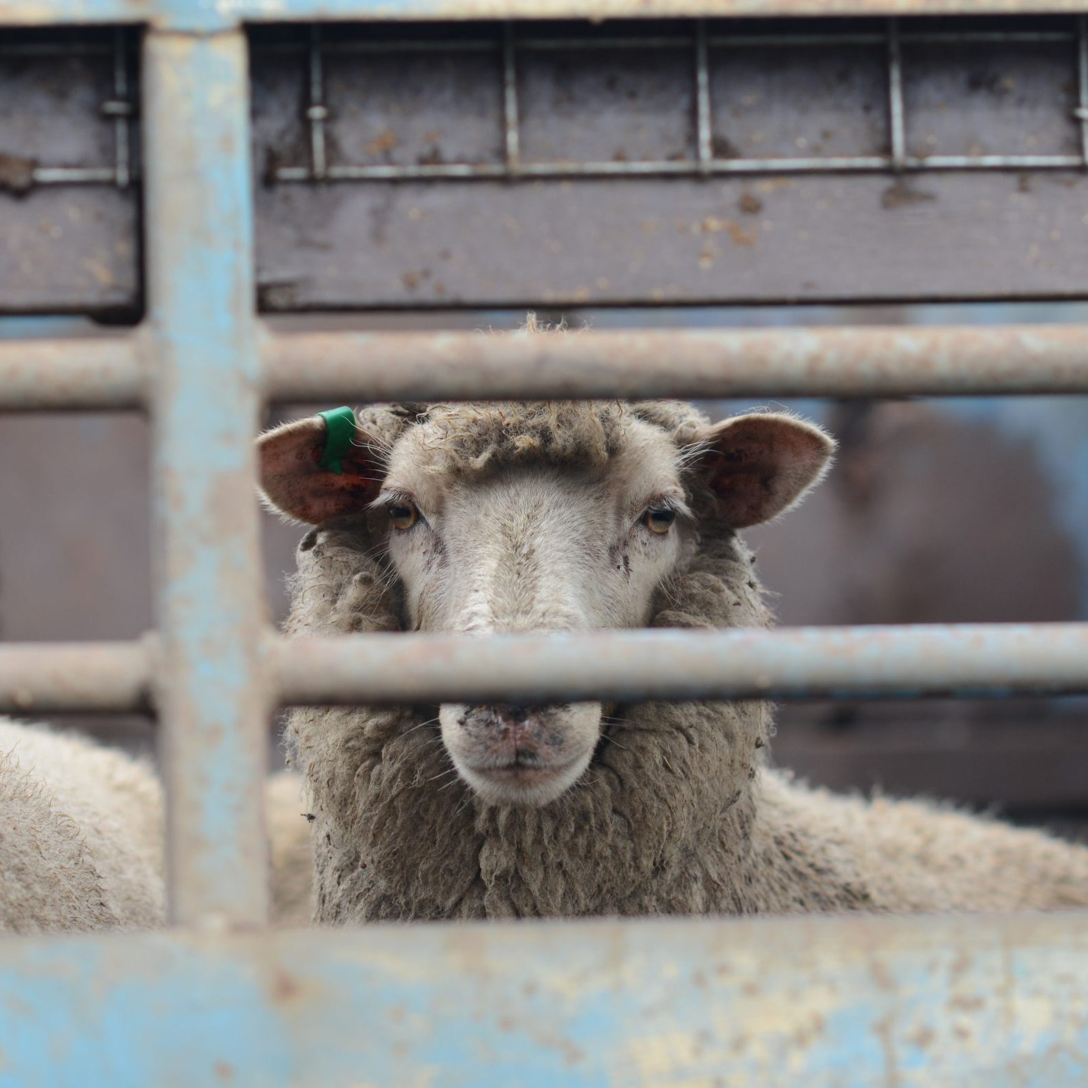 Sheep Looking Through A Fence