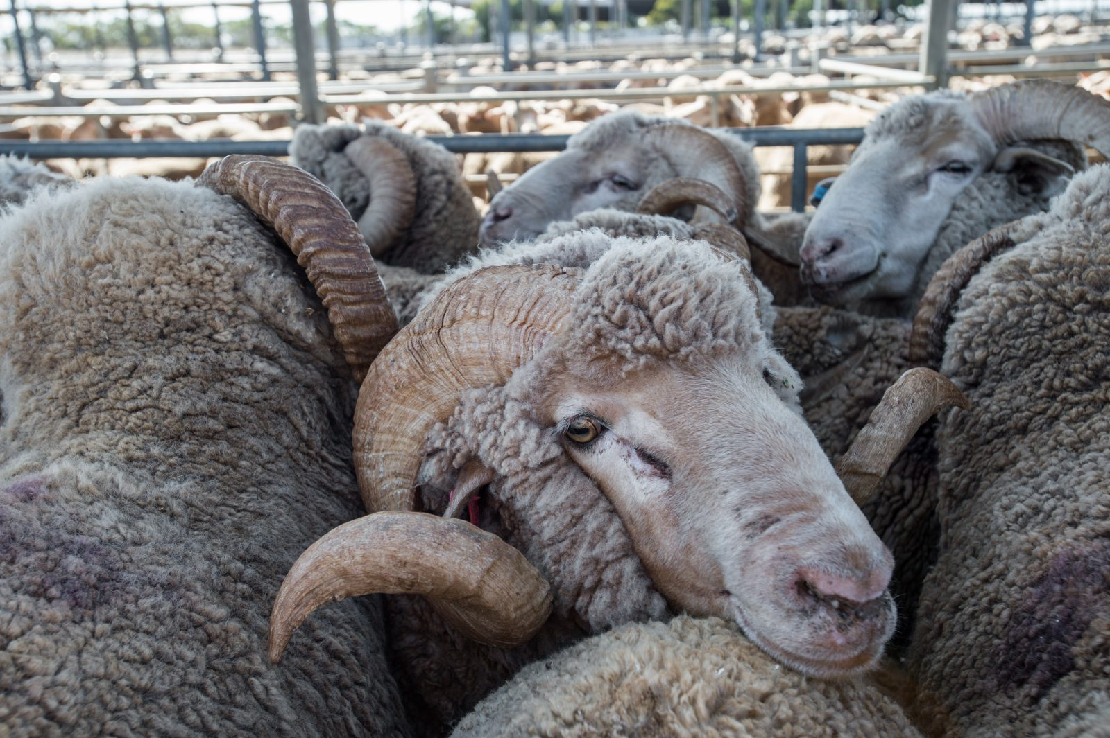Close Up Of A Sheep At A Sale Yard