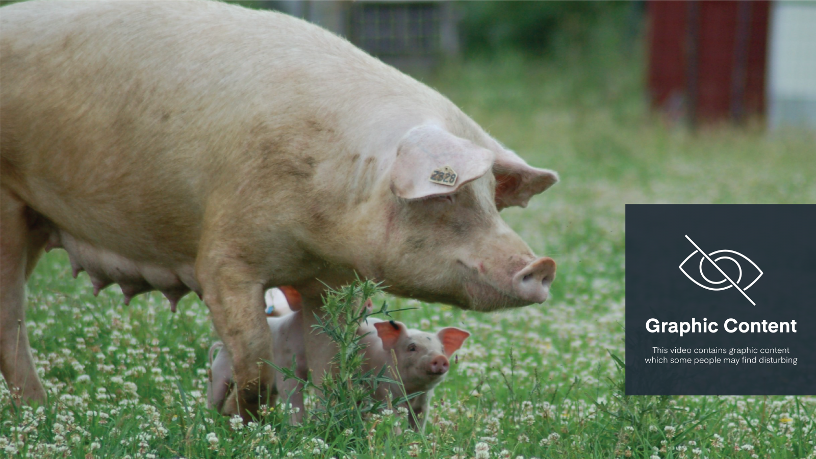 Nikki pig with her piglets at Farm Sanctuary. Graphic content warning on image.