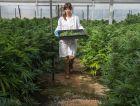 A botanist at the second largest medical marijuana greenhouse in Israel, near Caesarea.
