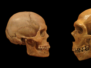 A homo sapiens skull (left) and a Neanderthal skull (right)