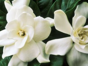 Cape jasmine (Gardenia), close up of white flowers, August