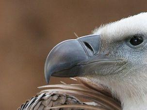spy vulture