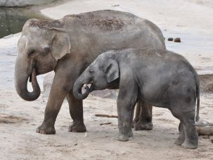 Elephants at the Cologne Zoo, which received a $22 million bequest from the widow of a Holocaust survivor.