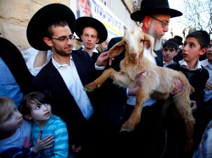 A member of the Temple Institute holds a one-year-old flawless goat in an enactment of the preparation for the renewal of the Passover sacrifice in the third Jewish Temple on April 2, 2012 during a display to the public in Jerusalem.