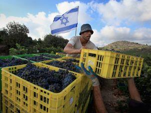 Israelis harvesting grapes at a vineyard near Jerusalem.