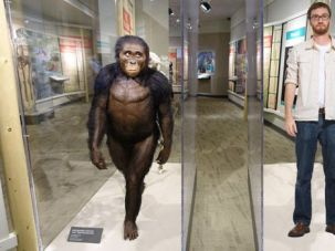 Lucy and David: The missing link in the evolutionary story, and Lucy (left) the artist's reconstruction of a young australopithecus.