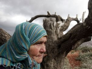 A Kind of Terror: A Palestinian woman holds onto at a destroyed olive trees in the northern West Bank village of Qarut on October 19, 2013.