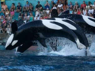 Born Free: The orca Tilikum was sold to SeaWorld after being separated from its mother in the wild.