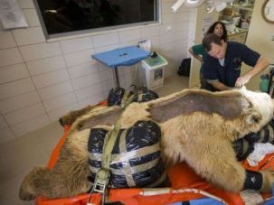 Bear Necessities: Mango the bear undergoes surgery in Ramat Gan, Israel.