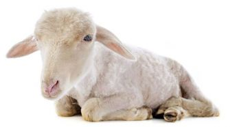 Lamb Mitzvah: A Jewish resident of Kauai fulfilled a rare biblical mitzvah called pidyon peter chamor, which requires redeeming a first-born donkey by giving a lamb to a cohen.