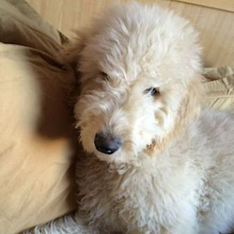 Car-Trained: Cooper the goldendoodle.