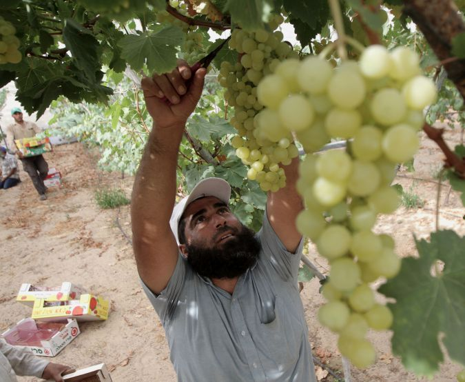 New Order: A Palestinian farmer havests grapes in the former settlement of Neve Dekalim.
