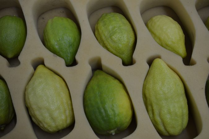 Etrogs are carefully packed in foam to protect the fruit.