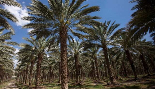 A date palm orchard in the Jordan Valley. Palestinian farmers are not allowed onto their lands between the border fence and the Jordan River.