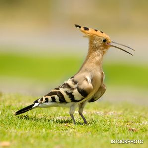 TAKE FLIGHT: The hoopoe was named Israel?s national bird.