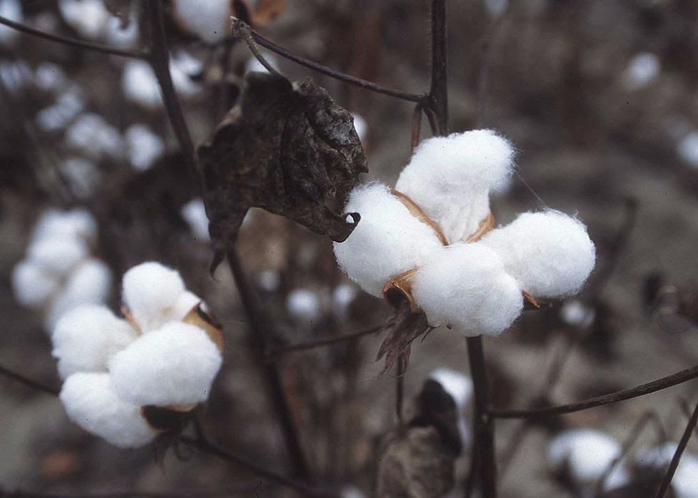 A cottonseed plant — once the main ingredient in Crisco.