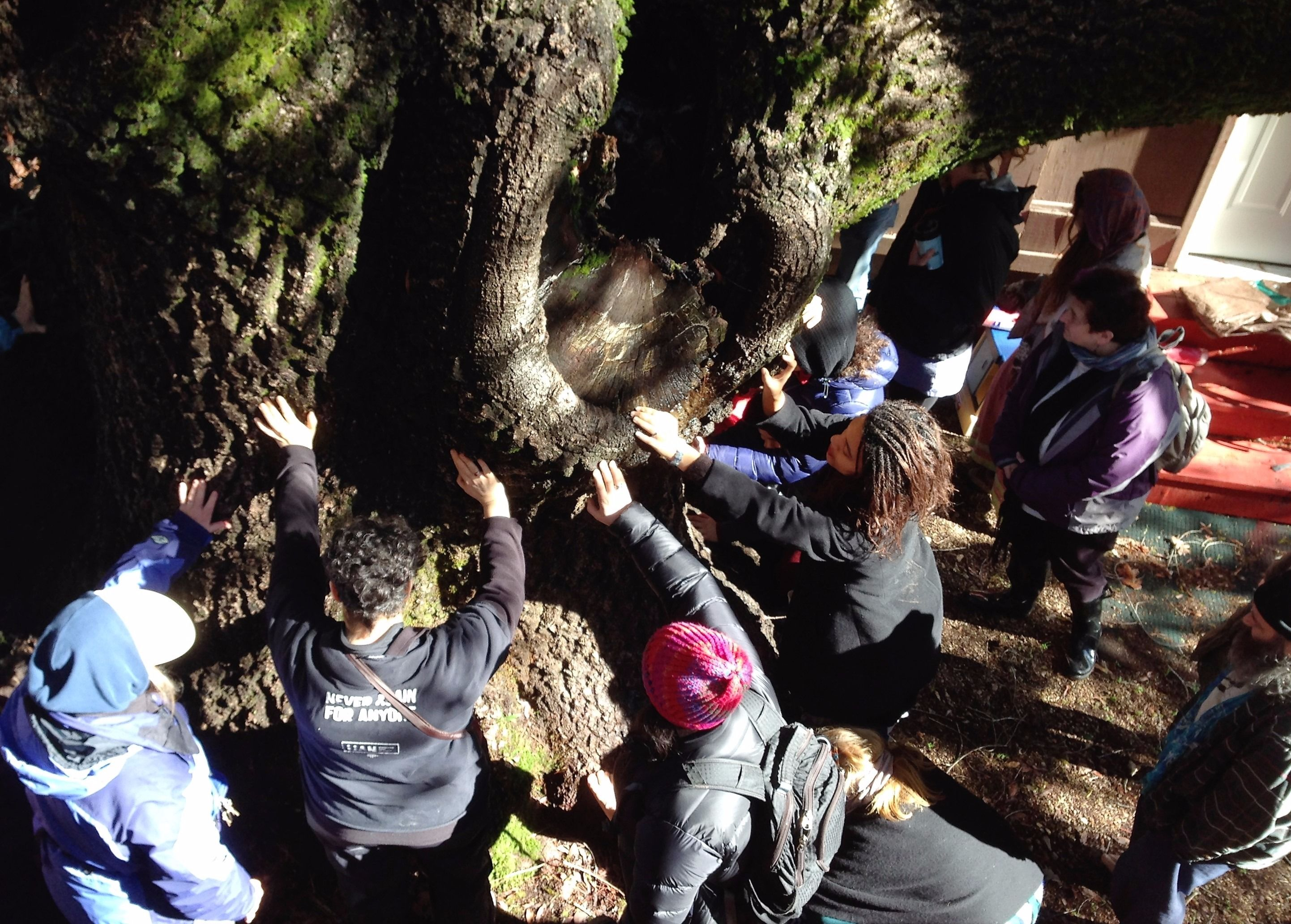 Jewitches singing Eitz Chayim Hi while communing with an 800 year-old Bay Laurel during a Tu B'shevat ritual