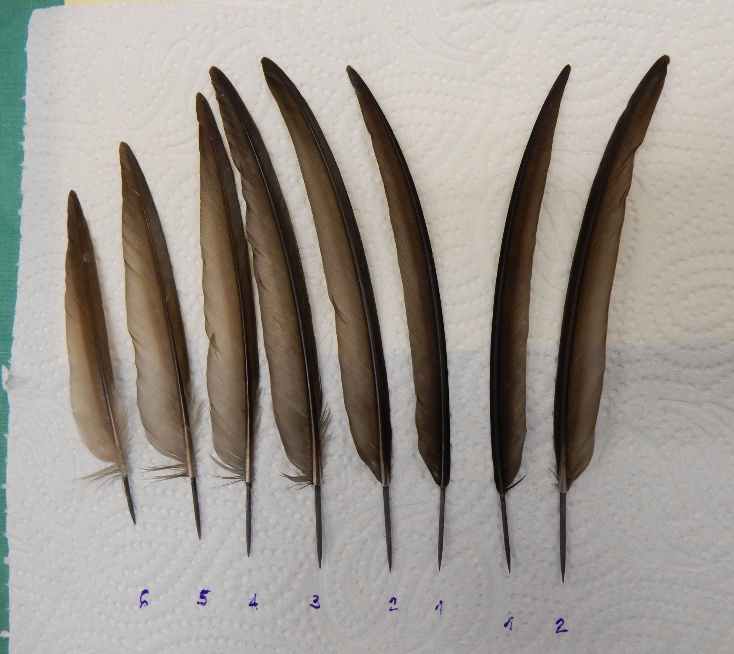 The feathers for transplant.