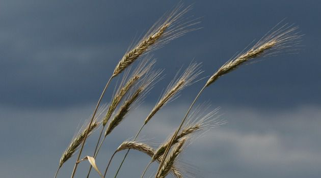 Blowing in the Wind: Barley is harvested in the spring, long before the eight days of Sukkot.