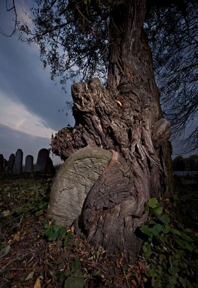 Nature?s Embrace: In this Yuri Dojc photograph, a tree grows around a Jewish gravestone in Slovakia. His photographs and Katya Krausova?s documentary- in-progress will be on display at the Museum of Jewish Heritage in New York in March 2011.