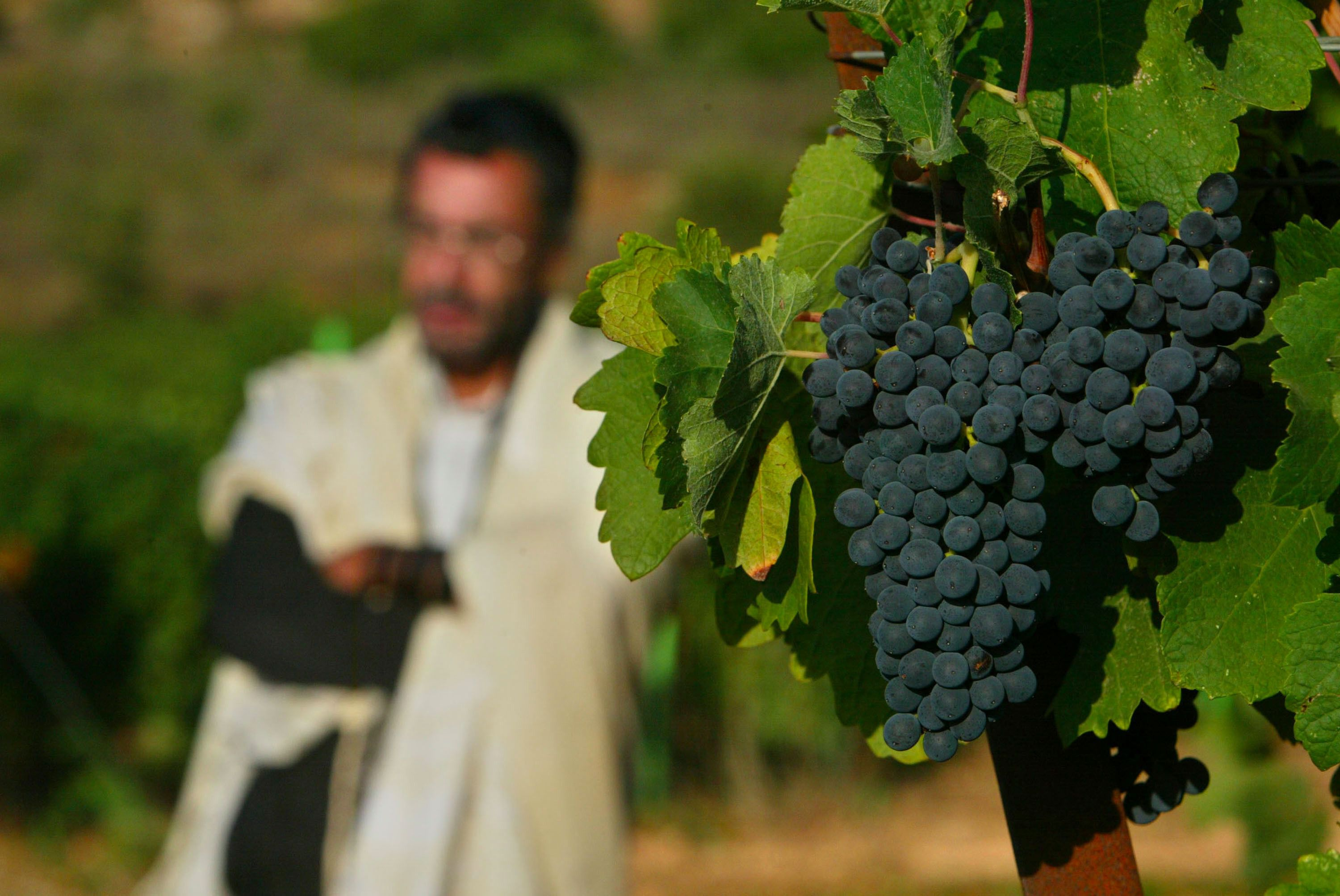 Dalton vineyard in Safed.