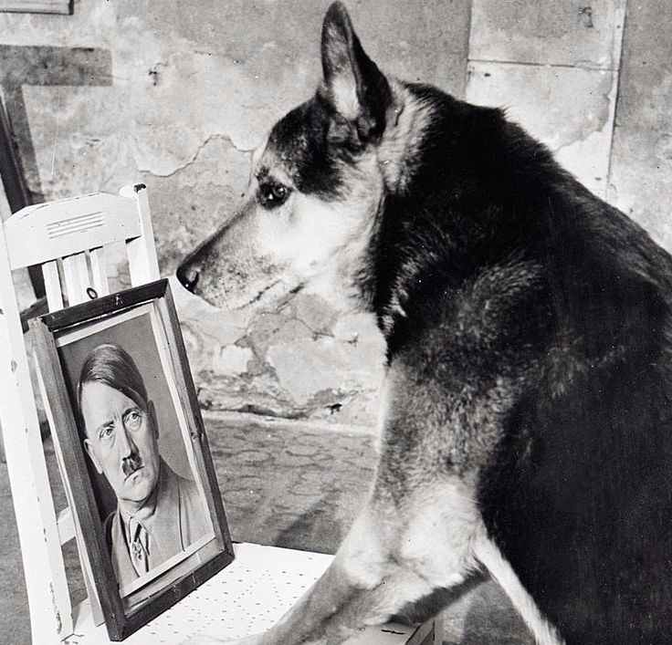 An undated photo of one of Adolf Hitler's dogs.