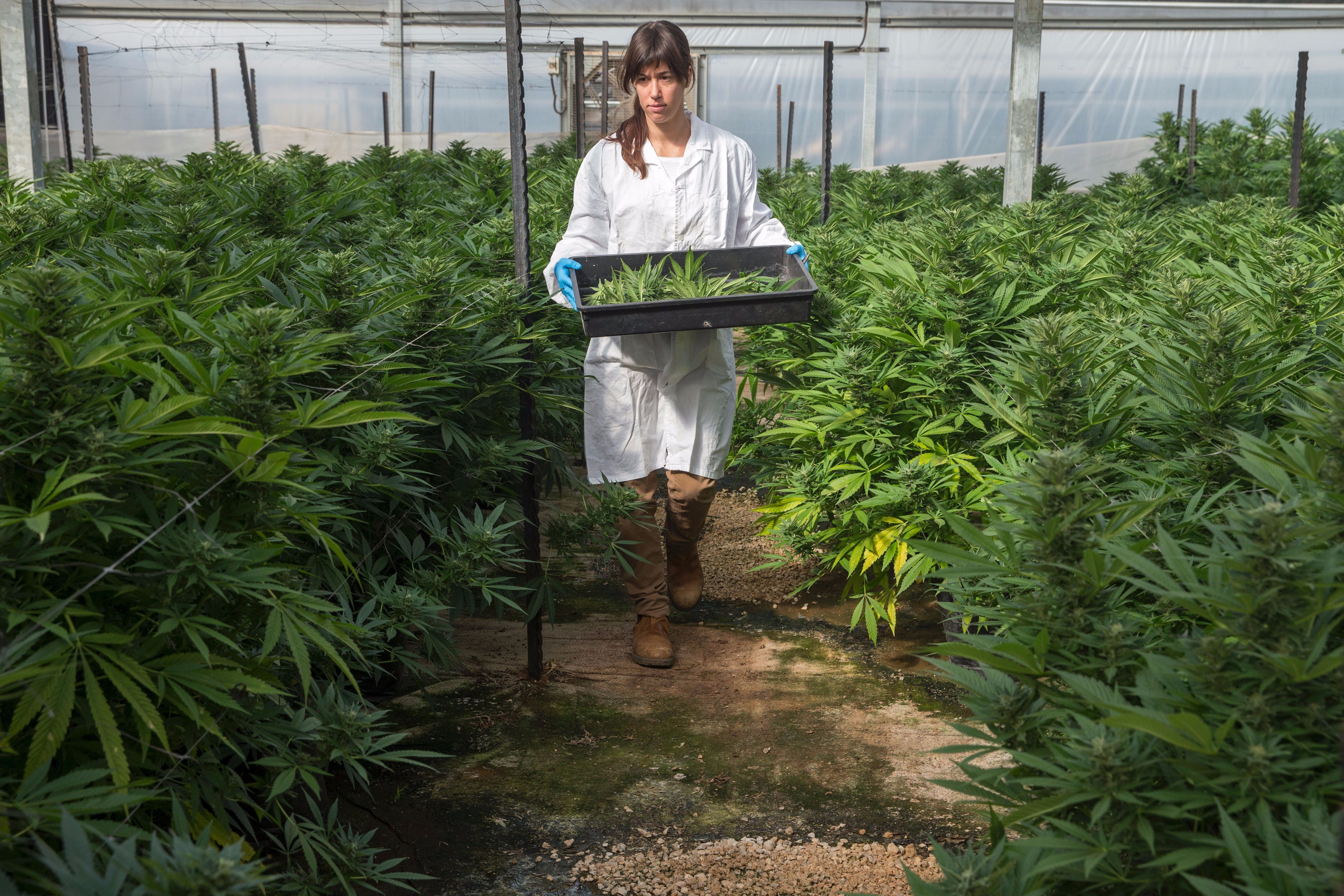 A botanist at the second largest medical marijuana greenhouse in Israel, near Caesarea.
