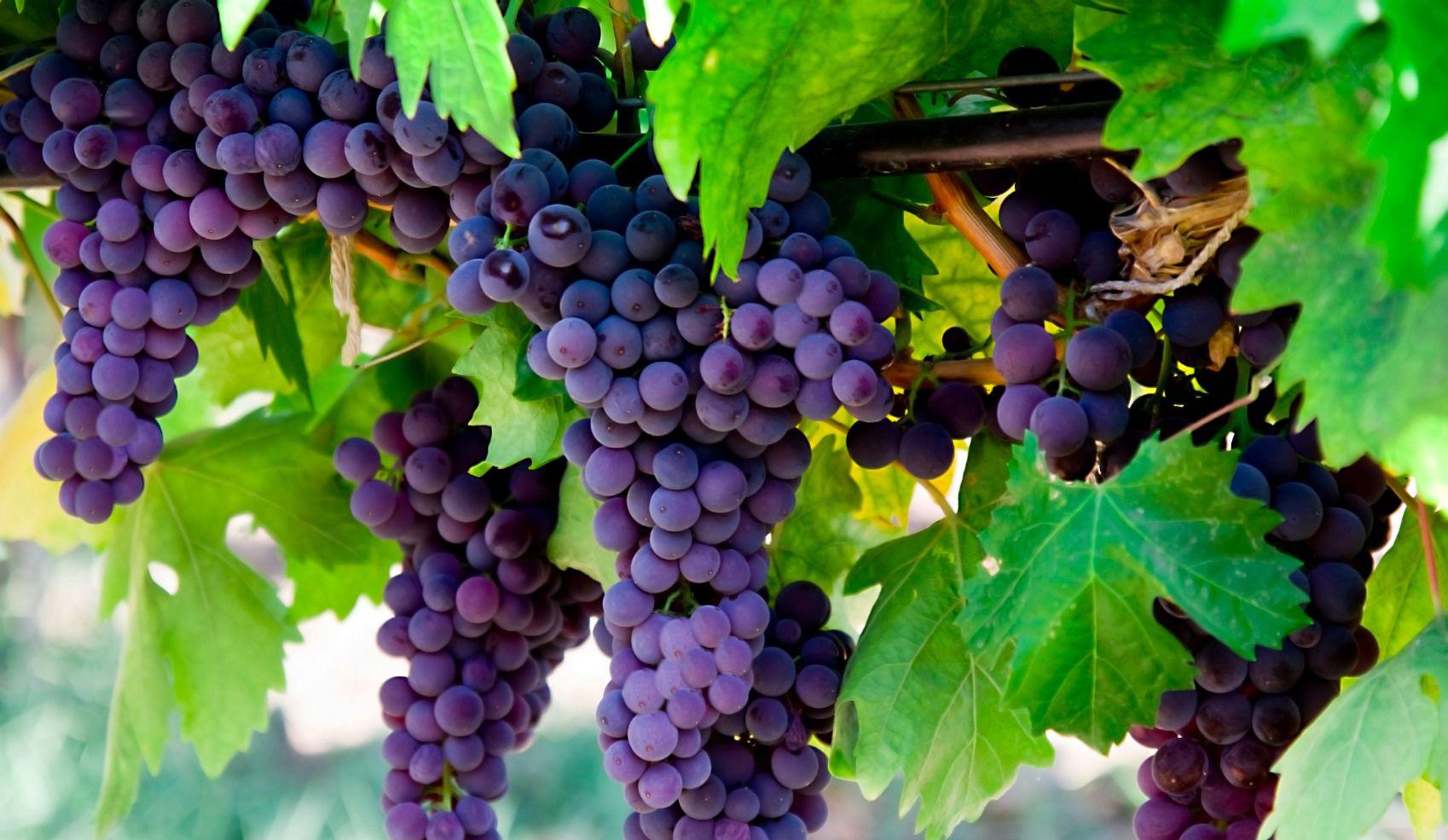 fruit of the vine u2013 the forward