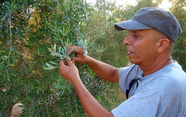 Hand Picked: Doron Akiva closely monitors an olive tree.