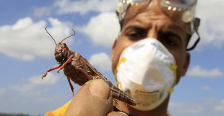 With Israel inundated by locusts, what?s the best way to prepare them for dinner?