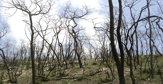 Revival: Burnt trees bring new life to the ravaged forest.