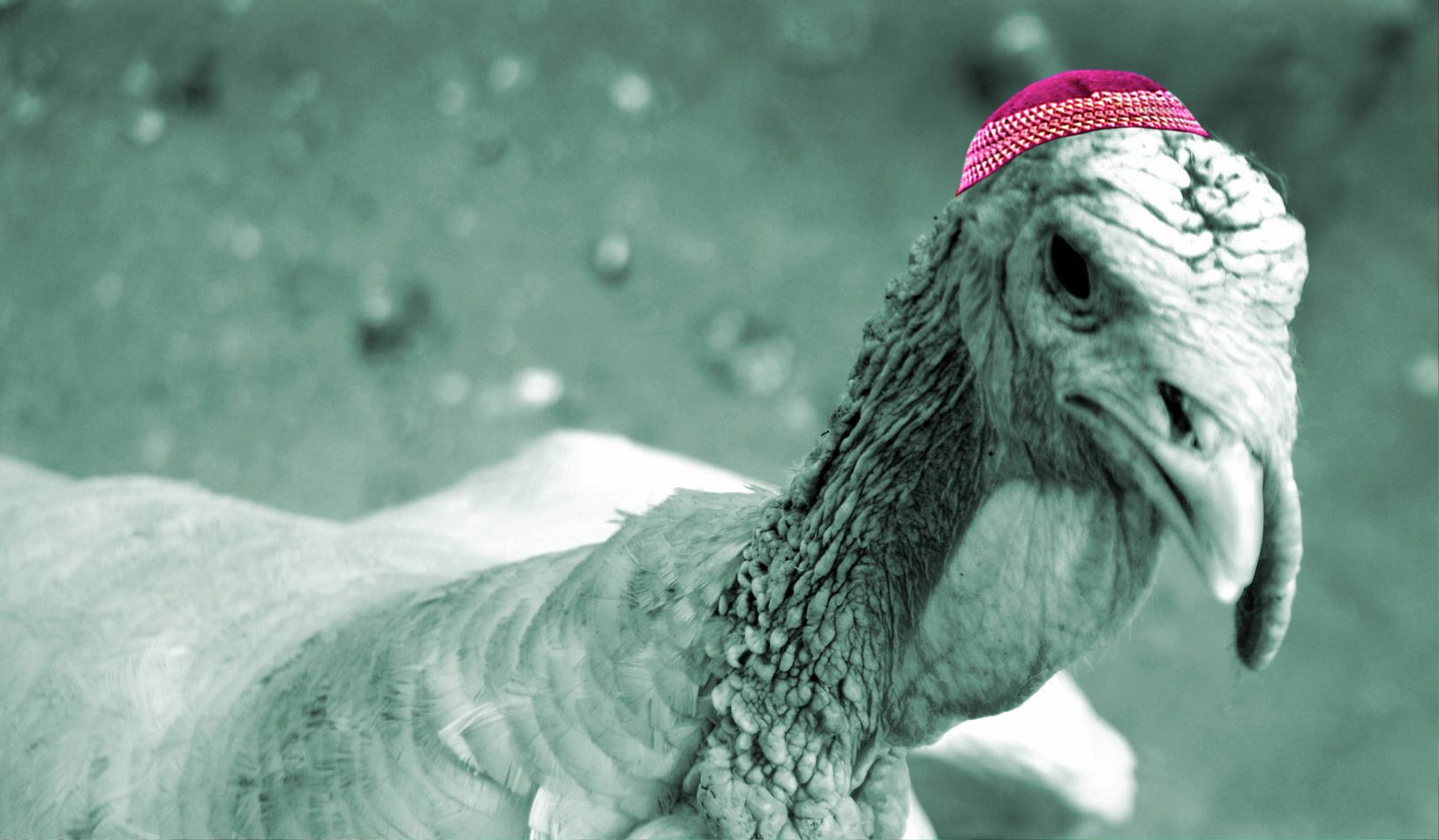 Louis, the Jewish Thanksgiving turkey, was pardoned.