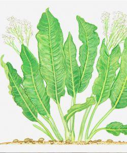 Armoracia rusticana (horseradish)