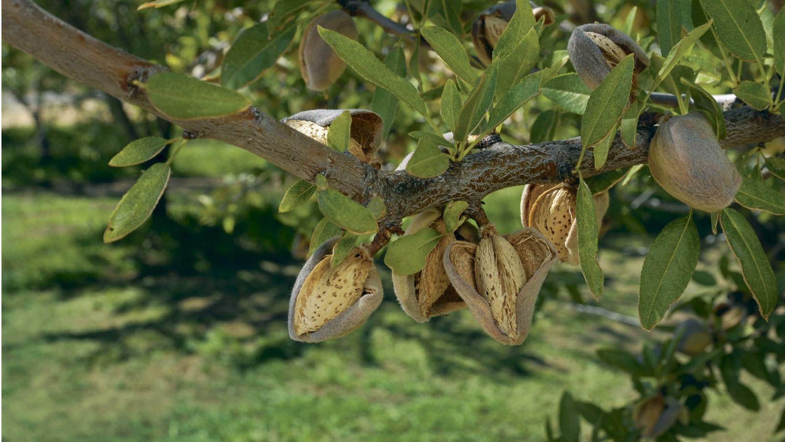 Almonds (and Marzipan) For Tu B'shvat · Carol Goodman