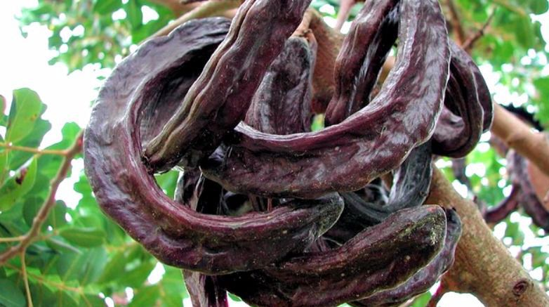 Carob is mentioned many times in Rabbinic literature, and the custom of eating carob on Tu B'Shvat is specifically mentioned in the Talmud.