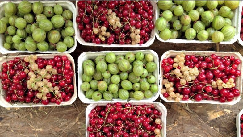 Juicy gooseberries and red and white currants from the farmer's market.
